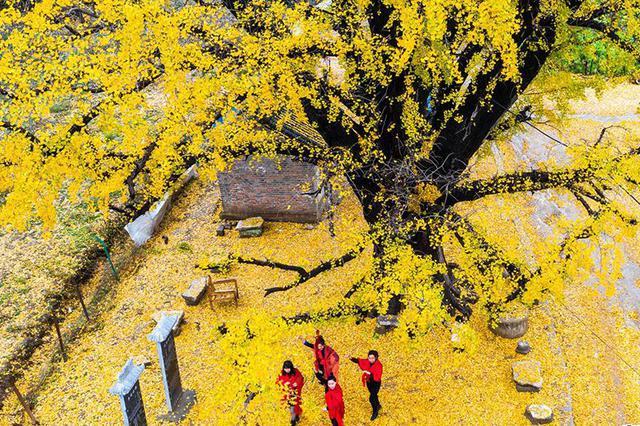 南阳方城 :千年古银杏 满地撒金黄(图)
