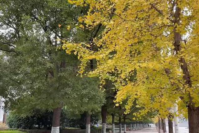 """河南高校校园树木一半碧绿一半金黄 学生:上课路上走过""""四季"""