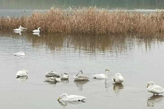 山西两羽野生天鹅患禽流感死亡 三门峡暂未发现疫情
