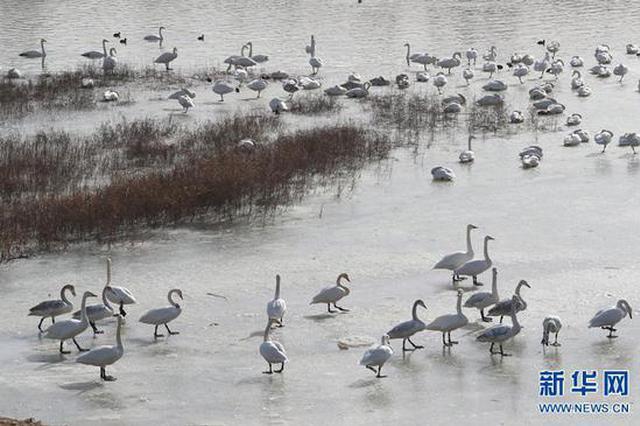 三门峡:天鹅湖里看天鹅(图)