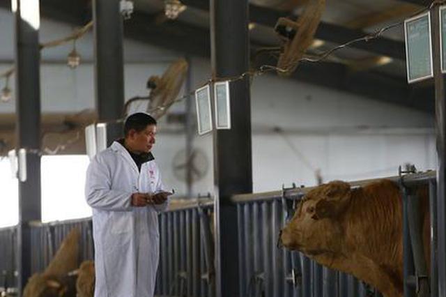 """一头牛拉动百亿产业:河南泌阳的""""牛""""经济"""