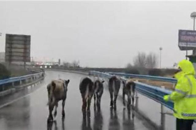 牛牛牛……货车侧翻 40多头牛在焦作高速上乱跑