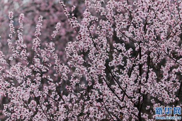 三门峡渑池:野生山桃花迎春绽放黄河丹峡(图)