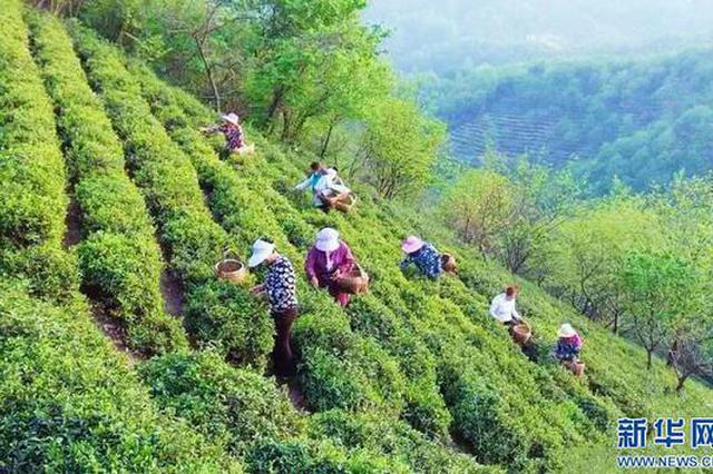 信阳罗山:茶乡春色美 满山茶飘香(图)