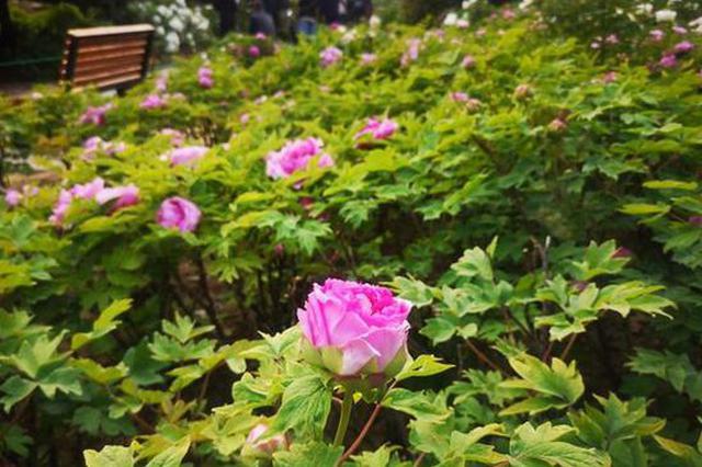 郑州植物园4万余株牡丹吐蕊 本周六快来打卡