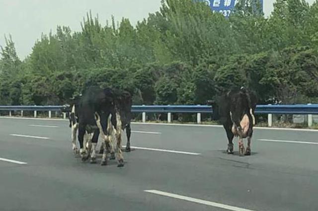 拉牛货车高速上侧翻 牛群在各个方向奔走 过往车辆紧急躲避