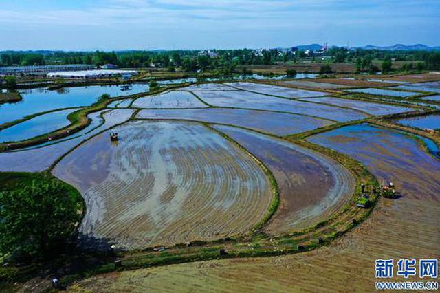 信阳光山:谷雨至 插秧忙(图)