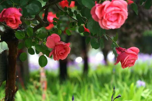 满城飘香!月季花开惊艳了四月的郑州(图)