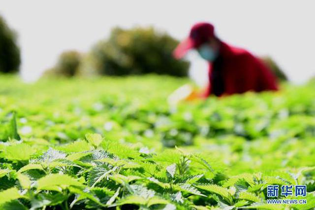 济源:冬凌草种植助农增收(图)