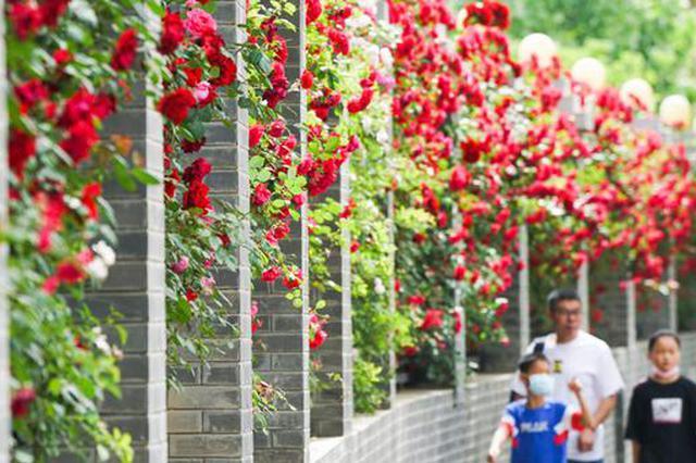 郑州:月季花开满城(图)