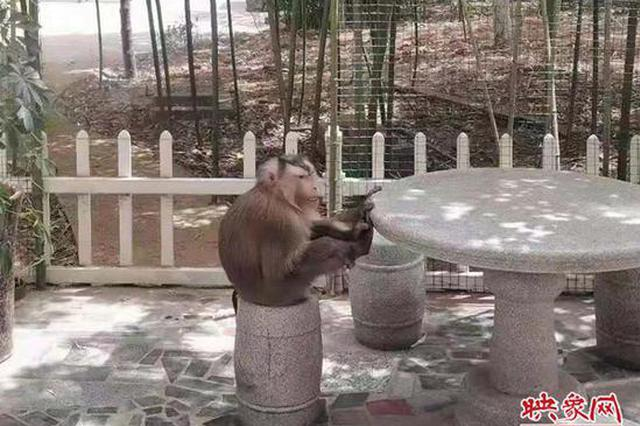 """一猴子在洛阳""""流窜""""数月被警方擒获"""