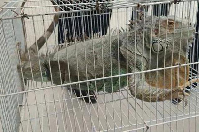 1.5米巨蜥流浪郑州街头 市民:还以为它是玩具!