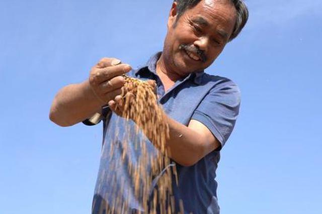 直击汝南县小麦丰收现场:亩产超1200斤 麦客一天挣两千
