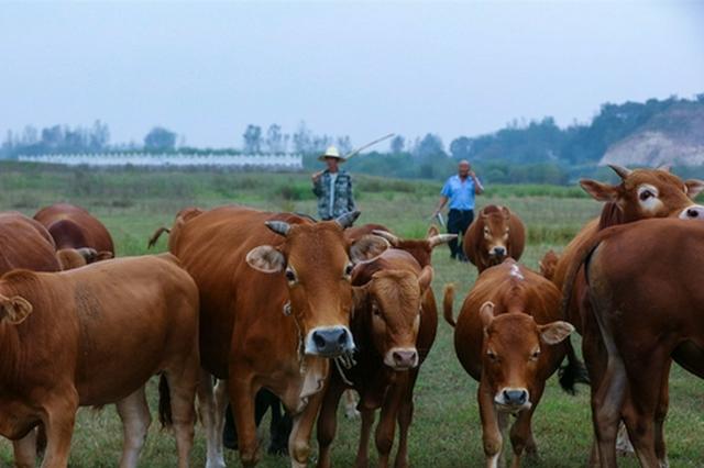 河南光山:养牛过上好日子