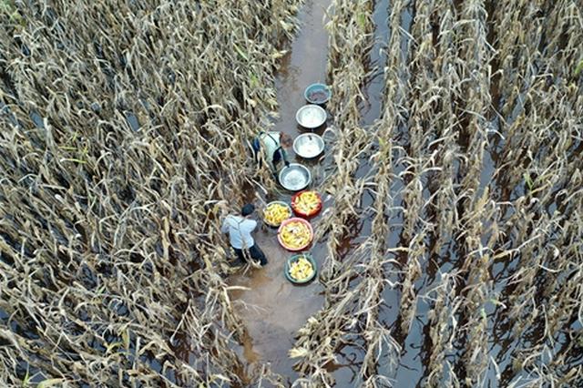 河南沁阳:抢收玉米