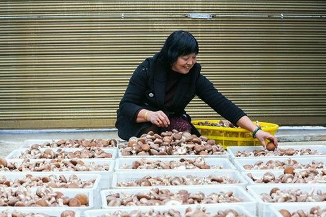 河南光山:金秋时节收香菇