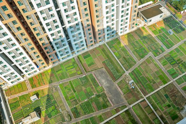 郑州一小区楼顶惊现大片菜园 青菜、萝卜、小茴香一应俱全