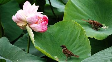 郑州紫荆山公园现罕见并蒂莲