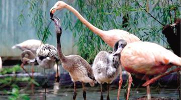 郑州动物园添丁 10只火烈鸟宝宝出生