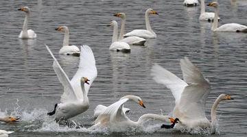 震撼!万只白天鹅赴三门峡过冬