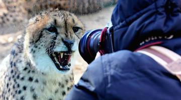 南非猎豹落户郑州