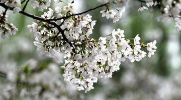 许昌:这里的樱花更浪漫