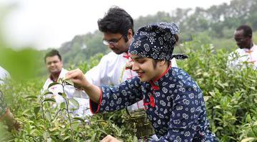 信阳:茶岛上来了群外籍采茶工