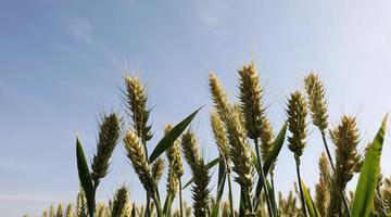 温县小满时节麦粒满 麦浪翻滚迎丰年