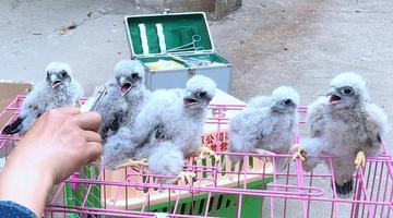 市民发现6只幼鸟 是重点保护动物
