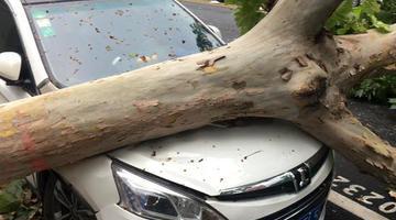 郑州暴雨后十余棵老树被卷倒 轿车被砸