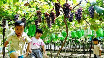 商丘夏邑:葡萄成熟满园甜