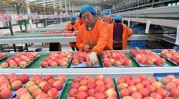 洛阳洛宁:申博代理登录登入,小苹果带动致富大产业