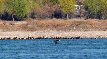 洛阳:黄河湿地群鸟翩跹