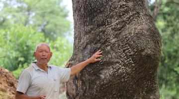 河南卢氏发现300年的椿树