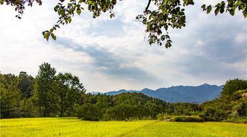 鲁山:金色稻田迎丰收