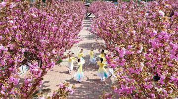 洛阳汝阳:深山樱花开 山村更精彩