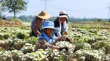 河南光山: 菊花喜获丰收