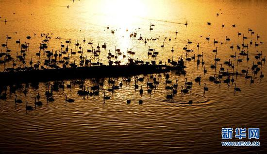 白天鹅在三门峡黄河湿地栖息(2016年11月26日摄)