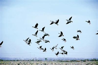 黄河滩区仅国家一级保护鸟类就有十几种