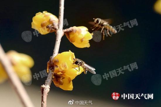 惊蛰节气之后,北京气温逐渐升高,梅花渐开,花香引蜂来。(图/程宝纪)
