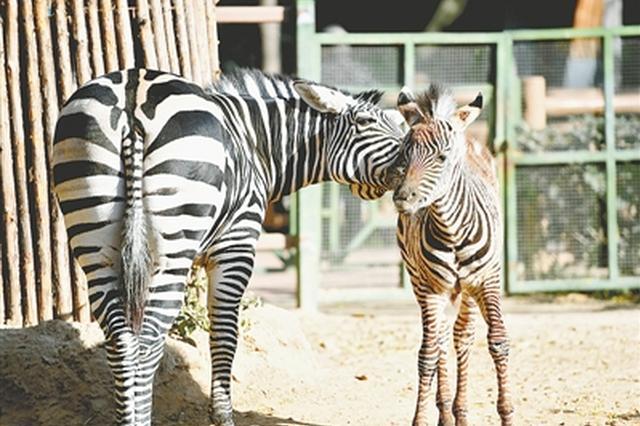 郑州市动物园扎堆儿添萌宝 黑毛白眉猴搂着小宝贝
