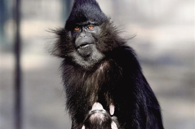 郑州动物园再添萌宝 黑毛白眉猴首次在郑繁殖
