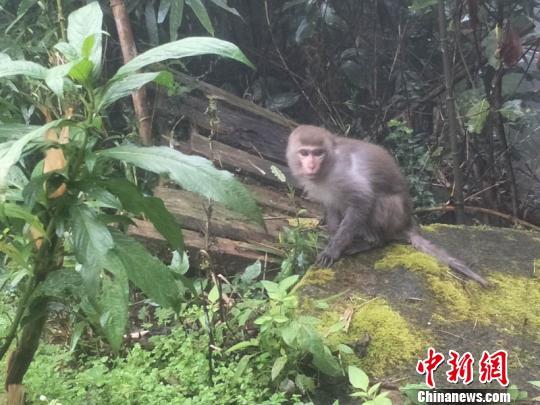 """小猕猴受伤觅食""""迷途"""" 幸得云南警民联手救助"""