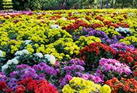 北京植物园壮美花海