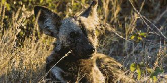 非洲最稀有的猛兽
