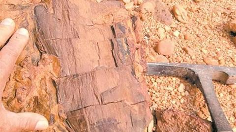 木化石,恐龙在这棵大树下乘过凉?
