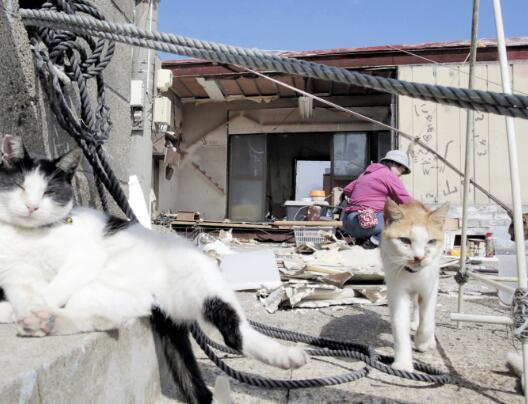 """台风摧毁流浪猫窝 日本""""猫奴""""每月花6千多重建"""