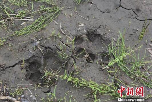 宁安发现野生雄性东北虎足迹 咬死农户家一匹马