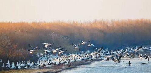 600余只东方白鹳挠力河起舞 大型集群已连续出现三年