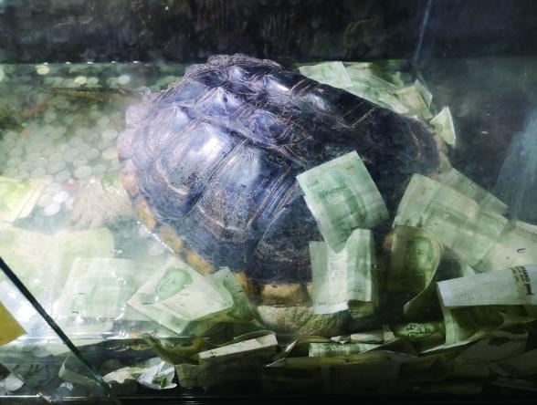 玻璃柜挖孔投币 北方森林动物园展览的招财龟被钱埋了